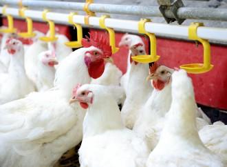 Como os alimentos afetam a saúde intestinal dos frangos (Parte I)