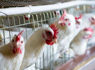 Alimentos e suas implicações na saúde intestinal de frangos (Parte I)
