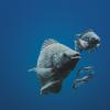 O efeito de PAQ-Gro™ na taxa de sobrevida e na condição geral de saúde de tilápias híbridas (Oreochromis niloticus vs. O. aureus) durante uma toxicidade aguda de amônia