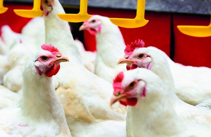 Uso de anticoccidianos em avicultura – União Europeia