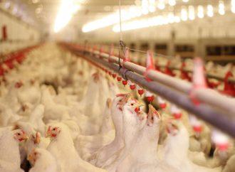 Desempenho in vivo de processamento de frangos em dietas de restrição suplementadas com Virginiamicina