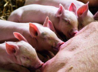 Stafac®, melhora o nível nutricional do leite da porca e o desempenho da Leitegada