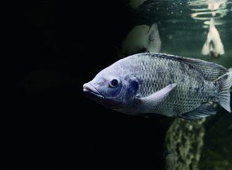 O efeito de PAQ-Gro™ no desempenho de crescimento, ICA e condição geral de saúde de tilápias híbridas (Oreochromis niloticus vs. O. aureus)