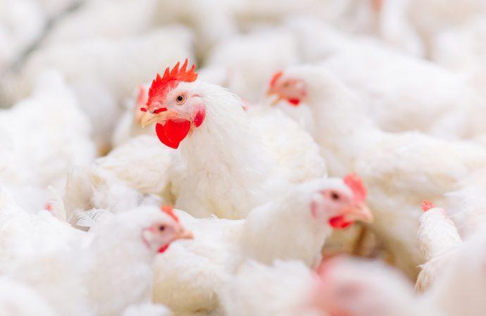 Identificação macroscópica de lesões gástricas provocadas por aminas biogênicas em frangos de corte